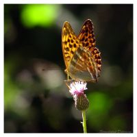 Butterfly on a flower by Stimulated-Detergent
