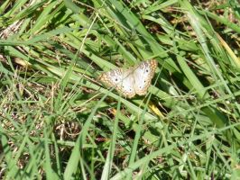 White Peacock Butterfly by Lirshtah8