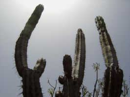 cacti by Paul774