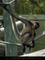 Black Handed Spider Monkey by SalsolaStock