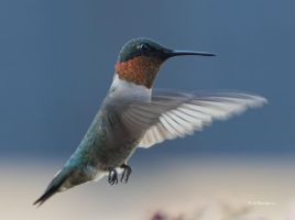Ruby-throated Hummingbird Male - Morning by RickDunlap2