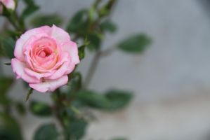 Pink rose by ChanelStudio