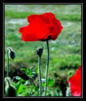 Poppies 2 by uk-antalya