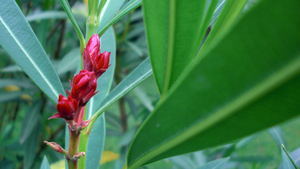 Red Buds by IncendiaryMedia