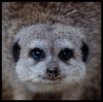 meerkat: what??? by morho