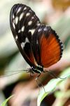 White-Black-Orange Butterfly by TinyCueCard