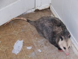 WTH?? Awesome Possum by Jace-Lethecus