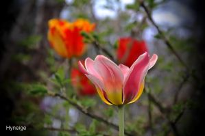 Le temps des tulipes I by hyneige
