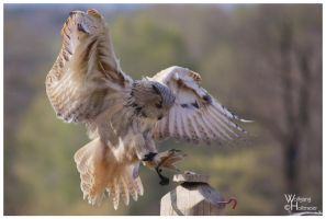 Siberian Eagle Owl 2009-2 by W0LLE