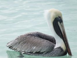 Pelican Swimming by eyannaandkianalovesu