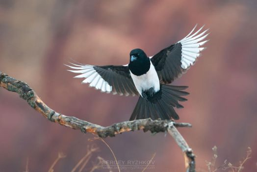 Eurasian magpie in flight by Sergey-Ryzhkov