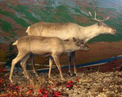 Denver Museum Reindeer 282 by Falln-Stock