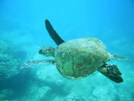 Gigi, the sea turtle by hansomepete