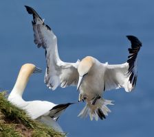 I am not worthy - Northern Gannet by Jamie-MacArthur