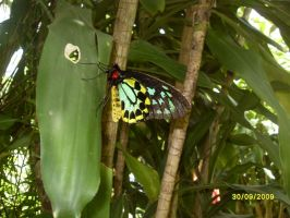 Cairns Birdwing Butterfly by Lani05