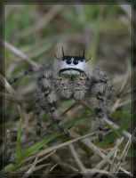 Jumping spider 20D0039169 by Cristian-M