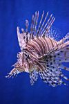 Lion Fish II by LHufford