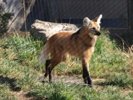 Maned wolf by photographyflower