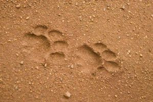 Lion spoor by alecd