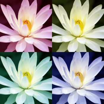 waterlilly by hoppingmad