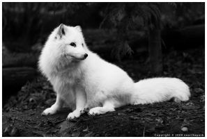 Arctic Fox by nearthepark
