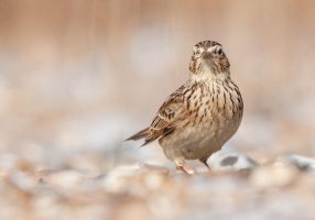 Looking sharp - Skylark by Jamie-MacArthur