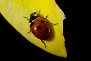 Ladybird by cprmay