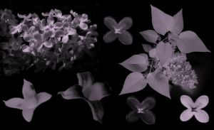 Lilacs by midnightstouch