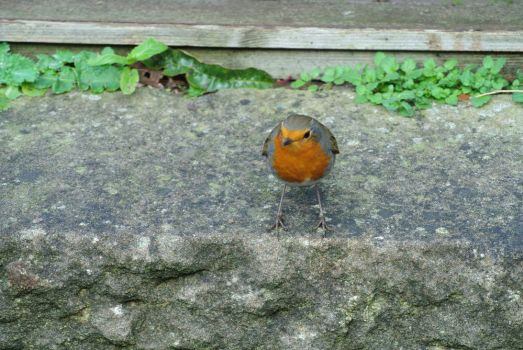 Robin by Niall-Donnelly