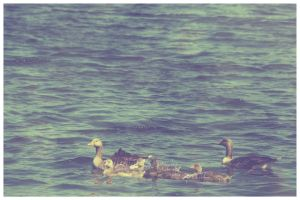 Goose family by CrystalGoldfinch