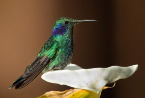 Taking a peaceful rest - Green Violetear by Jamie-MacArthur