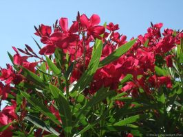 Nerium Oleander by the4ce
