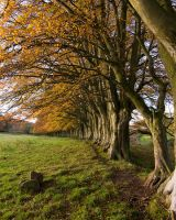 Beech Trees by Chris-Brown