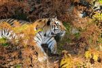 Siberian Tiger and the Autumn by SindreAHN