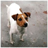 Jack Russell by mcaksoy
