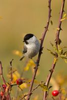 Willow Tit by shemonter