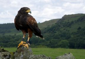 Harris Hawk by dark-angel-11309