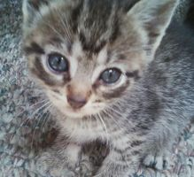 Tabby Kitten 2 by reiney