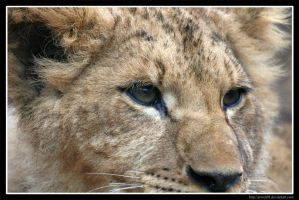 Lion's Eye by Arwen91