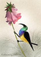 Variable Sunbird by Simbamarasa