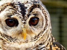 Mumble the Chaco Owl by WhetherOrNo
