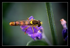 Hoverfly by serenityamidst