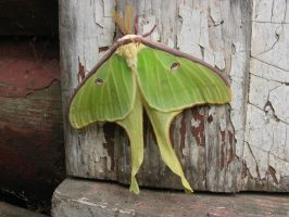Luna Moth by idolminds