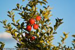 Apple Orchard by photog