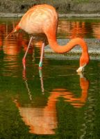 Flamingo Reflection by Lilleninja