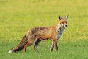Foxy lady... by SWAT-Strachan