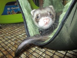 Ridiculously Photogenic Ferret by BluSilvrPaladin