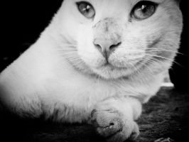 White Cat Staring Beadily.. by Youcef07