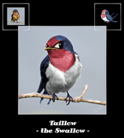 Taillow, the Swallow by NiaWolf