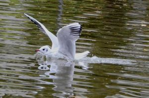 Black-headed Gull by ShortyMcNillan